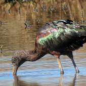 Glossy ibis. Adult, semi-resident. Travis Wetland, Christchurch, August 2014. Image © Grahame Bell by Grahame Bell http://grahamenz.com