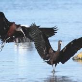 Glossy ibis. Adult birds landing. Opawa River, Blenheim, July 2011. Image © Will Parsons by Will Parsons
