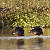 Glossy ibis. Two adults preening. Parsons wetland, Wairau Lagoons, Marlborough, December 2011. Image © Will Parsons by Will Parsons