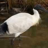 White ibis. Adult in breeding plumage. Canberra, August 2016. Image © RM by RM