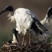 White ibis. Adults with chick on nest. Melbourne, Victoria, Australia, August 2006. Image © Sonja Ross by Sonja Ross