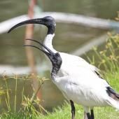 White ibis. Adult with begging juvenile. Cairns, Queensland, December 2016. Image © Imogen Warren by Imogen Warren