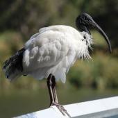 White ibis. Adult in breeding plumage. Cairns, Queensland, December 2016. Image © Imogen Warren by Imogen Warren