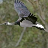 Straw-necked ibis. Immature in flight. Bulleen, Victoria, June 2017. Image © Rodger Scott 2017 birdlifephotography.org.au by Rodger Scott