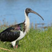 Straw-necked ibis. Adult in breeding condition. Herdsman Lake, Perth, Western Australia, February 2018. Image © William Betts 2018 birdlifephotography.org.au by William Betts