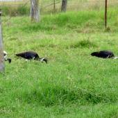Straw-necked ibis. Flock feeding in a paddock. Gatton, Queensland, Australia, April 2013. Image © Koos Baars by Koos Baars