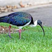 Straw-necked ibis. Adult. Queensland, Australia, September 2010. Image © Dick Porter by Dick Porter