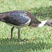 Straw-necked ibis. Adult. Northern Territory, Australia, July 2012. Image © Dick Porter by Dick Porter