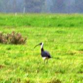 Straw-necked ibis. Adult - first New Zealand record. Tarras, Central Otago, February 2009. Image © Erik Forsyth by Erik Forsyth