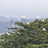 Royal spoonbill. Roosting flock in tree. Miranda. Image © Art Polkanov by Art Polkanov