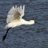 Royal spoonbill. Adult taking flight. Whanganui, June 2012. Image © Ormond Torr by Ormond Torr