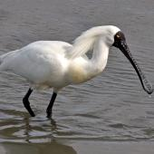 Royal spoonbill. Adult male in breeding plumage. Wairau Bar, Marlborough, September 2014. Image © Rebecca Bowater by Rebecca Bowater FPSNZ AFIAP www.floraandfauna.co.nz