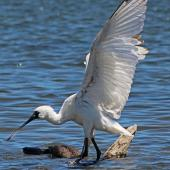 Royal spoonbill. Juvenile preparing to take off. Waikanae River estuary, November 2013. Image © David Brooks by David Brooks