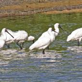 Royal spoonbill. Flock loafing and feeding. Westshore Wildlife Reserve, Napier, March 2011. Image © Dick Porter by Dick Porter