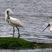 Royal spoonbill. Breeding adult. Catlins, Otago, January 2010. Image © Joke Baars by Joke Baars