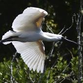 Royal spoonbill. Adult in breeding plumage in flight showing underwings. Waitangiroto River, January 2013. Image © Brian Anderson by Brian Anderson http://www.baphotographic.co.uk