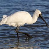 Royal spoonbill. Non-breeding adult feeding. Whanganui River estuary, Whanganui, July 2012. Image © Ormond Torr by Ormond Torr
