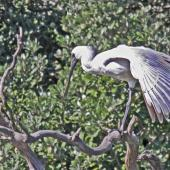 Royal spoonbill. Immature stretching its wing. Haumoana Lagoon, April 2012. Image © Dick Porter by Dick Porter