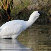 Royal spoonbill. Immature snatching fish from water. Marewa waterway, Napier, July 2013. Image © Adam Clarke by Adam Clarke