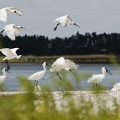 Royal spoonbill. Flock in flight and landing. Mangere sewage ponds, Auckland. Image © Eugene Polkan by Eugene Polkan