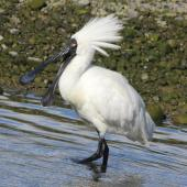 Royal spoonbill. Adult in breeding plumage with bill open. Lower Hutt, January 2016. Image © Robert Hanbury-Sparrow by Robert Hanbury-Sparrow