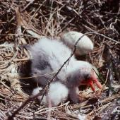 Royal spoonbill. Young chick and egg in nest. Wairau Lagoons, Blenheim, February 1988. Image © Colin Miskelly by Colin Miskelly