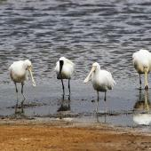 Yellow-billed spoonbill. Four adults with two royal spoonbills (the latter with black bills and legs). Western Treatment Plant, Werribee, Victoria, November 2015. Image © Ray Fox 2017 birdlifephotography.org.au by Ray Fox