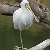 Yellow-billed spoonbill. Adult roosting on tree branch. Western Australia, April 2014. Image © Duncan Watson by Duncan Watson