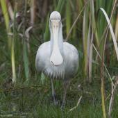 Yellow-billed spoonbill. Front view of adult wading in swamp. Herdsman Lake, Perth, Western Australia, October 2013. Image © Philip Griffin by Philip Griffin