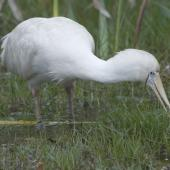 Yellow-billed spoonbill. Adult with bill submerged in swamp. Herdsman Lake, Perth, Western Australia, October 2013. Image © Philip Griffin by Philip Griffin