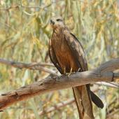 Black kite. Adult perched. Kimberley, Western Australia, August 2018. Image © Glenn Pure 2018 birdlifephotography.org.au by Glenn Pure