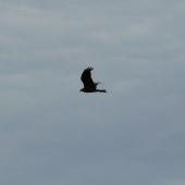 Black kite. Side flight silhouette. Renwick, January 2013. Image © Alan Tennyson by Alan Tennyson