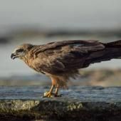 Black kite. Adult feeding on ground. Cable Beach, Broome, Western Australia, August 2014. Image © Roger Smith by Roger Smith