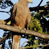 Black kite. Perched adult. Darwin, July 2012. Image © Dick Porter by Dick Porter