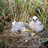 Swamp harrier. Chicks in nest. Whangaehu River estuary, February 1996. Image © Ormond Torr by Ormond Torr
