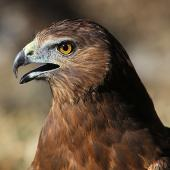 Swamp harrier. Adult in captivity. Bird Rescue Wanganui, May 2012. Image © Ormond Torr by Ormond Torr