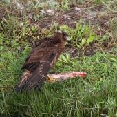 Swamp harrier. Juvenile mantling rabbit carcass. Haumoana, Hawke's Bay, May 2015. Image © Adam Clarke by Adam Clarke