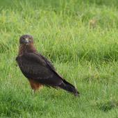 Swamp harrier. Juvenile at prey (concealed in the long grass). Whitford,  Auckland, June 2016. Image © Marie-Louise Myburgh by Marie-Louise Myburgh