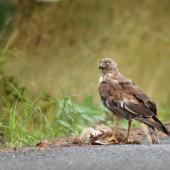 Swamp harrier. Adult at road-killed hare. Whitford area, near Auckland, February 2016. Image © Marie-Louise Myburgh by Marie-Louise Myburgh