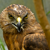 Swamp harrier. Close up of face, injured bird in rehabilitation. Whangarei, March 2014. Image © Les Feasey by Les Feasey