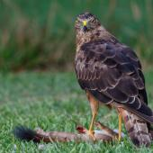 Swamp harrier. Adult, feeding on stoat carcass. Bay of Islands, March 2017. Image © Paul Shaw by Paul Shaw