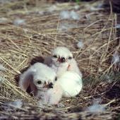 Swamp harrier. Two chicks (2 days-old) and egg in nest. Lake Tekapo, November 1982. Image © Department of Conservation (image ref: 10046985) by Rod Morris, Department of Conservation Courtesy of Department of Conservation