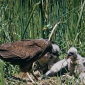 Swamp harrier. Adult feeding chicks at nest. Motukarara, Canterbury. Image © Department of Conservation (image ref: 10037548) by Peter morrison, Department of Conservation Courtesy of Department of Conservation