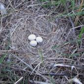 Swamp harrier. Nest with 3 eggs. Parsons covenanted wetland, Wairau, Marlborough, November 2011. Image © Will Parsons by Will Parsons Courtesy of Will Parsons of www.driftwoodecotours.co.nz