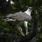 White-bellied sea eagle. Adult among mangroves. Port Douglas, Queensland, September 2106. Image © Roger Smith by Roger Smith