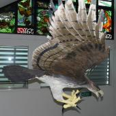 Haast's eagle. Model made by Richard de Hamel in Nelson Museum. . Image © Alan Tennyson by Alan Tennyson Alan Tennyson