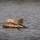 Japanese snipe. Adult. Pegasus Wetlands, North Canterbury, May 2015. Image © Robyn Young by Robyn Young