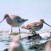 Japanese snipe. Adult in front of bar-tailed godwit. Manawatu River estuary, October 2000. Image © Alex Scott by Alex Scott