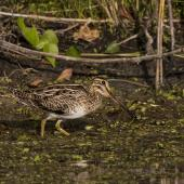 Japanese snipe. Adult. Buckley's Hole, Bribie Island, Queensland, January 2018. Image © Oscar Thomas by Oscar Thomas