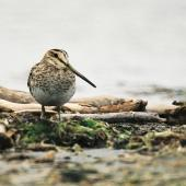 Japanese snipe. Adult. Manawatu River estuary, December 1999. Image © Alex Scott by Alex Scott